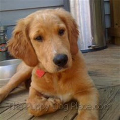 golden retriever savvy golden retriever puppy photos