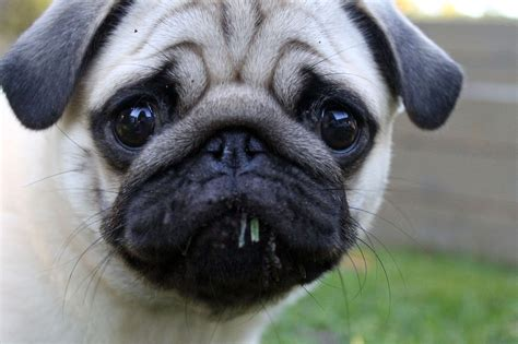 pug summer summer puppy puppies pug dogs pugs grass puglife ainoa images litle pups