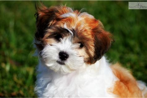 teddy puppies for sale in pa teddy puppies white shichon puppy for sale in pittsburgh pa