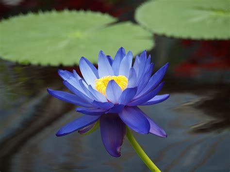 lotus pharmaceuticals india water flowers images flower wallpaper