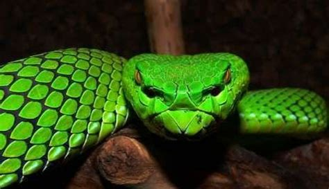 green and black viper are green snakes poisonous updated