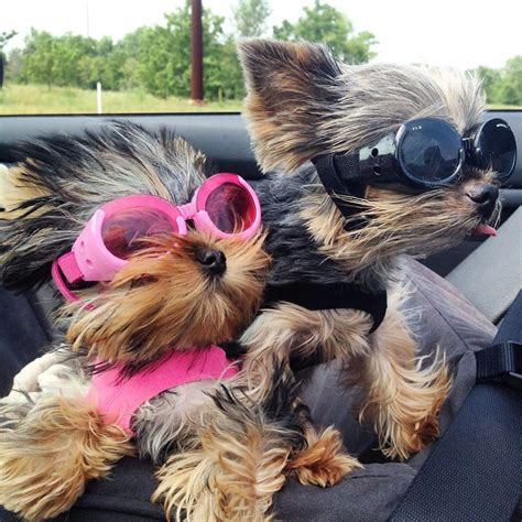 yorkie labor signs 15 dogs who are way excited for labor day