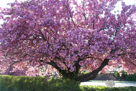 a cherry tree identifying mystery floral trees tbr news media