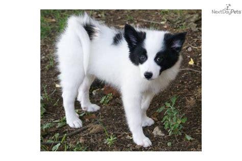 american eskimo pomeranian mix for sale american eskimo pomeranian puppies for sale breeds picture
