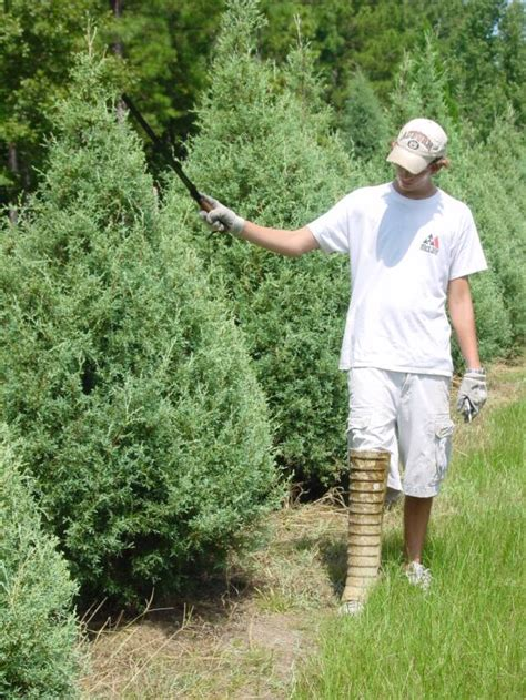 pruning christmas trees tree farming throughout the year