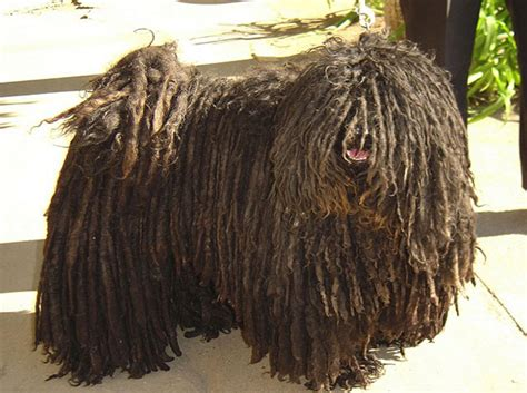komondor puppy komondor temperament health names grooming