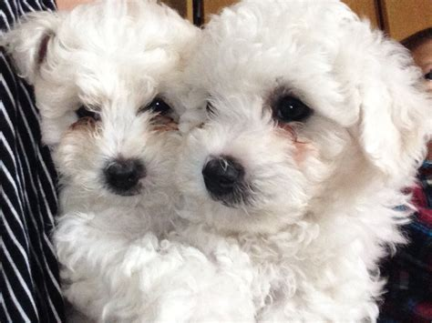 bichon puppies for sale bichon frise puppies for sale