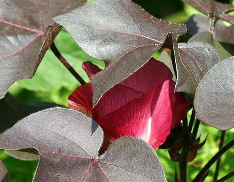 gossypium herbaceum nigra photo hubert steed photos at