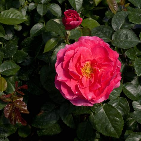 livin la vida landscape rose rosa  proven winners
