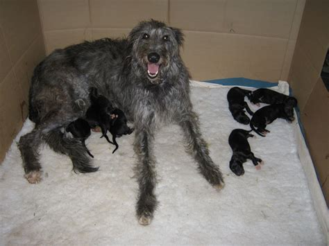 scottish deerhound puppies image gallery deerhound puppies