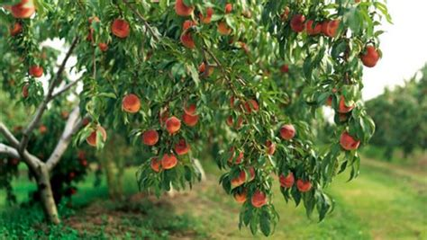 home fruit trees fruits archives better home gardening