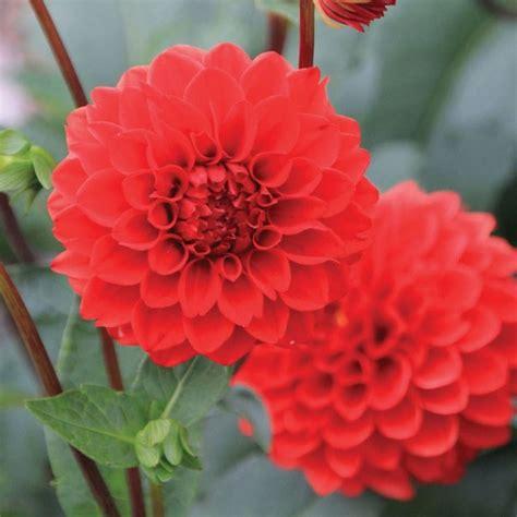 fiori dalia dalia piante da giardino coltivare dalia