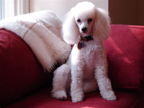 pictures of different poodle haircuts styles of poodle cuts grooming standard poodle grooming