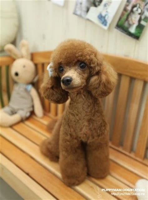 poodle puppy cut poodle haircuts pictures hairstylegalleries