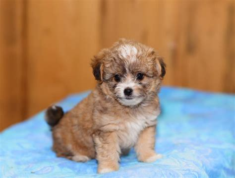 puppies for sale in iowa chihuahua puppies for sale iowa breeds picture