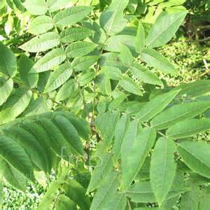 plant pictures juglans cathayensis walnut juglans secondary image