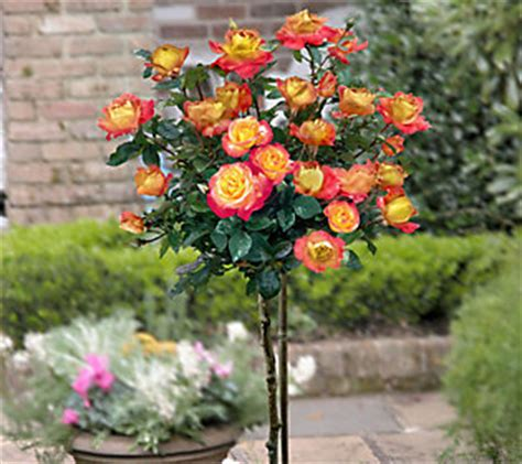 cottage farms roses cottage farms 36 chihuly patio tree qvc