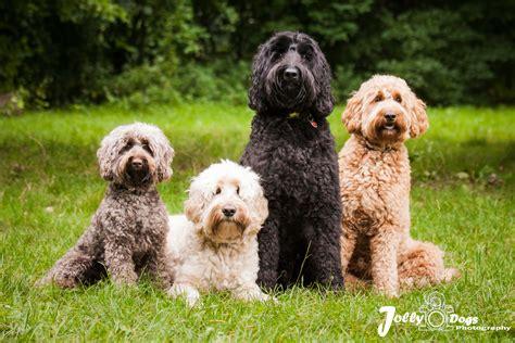 mini doodle nederland australian labradoodles gezocht jolly dogs photography