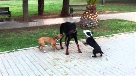 the hammer why dogs attack us and how to prevent it books two pit bulls attack my doberman