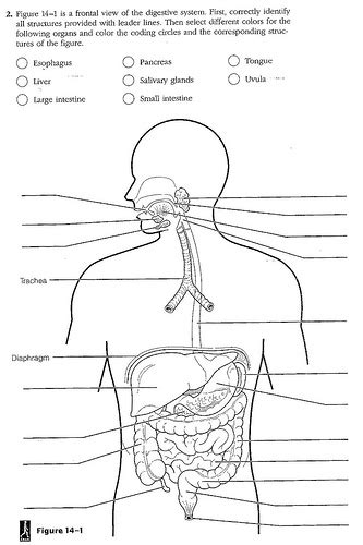 digestive system coloring page key digestive system coloring worksheet answers murderthestout