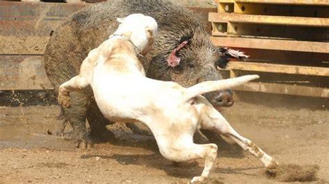 imagenes de animales jigantes los perros m 193 s grandes y peligrosos del mundo 183 most