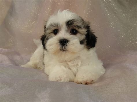 bichon and shih tzu mix iowa shih tzu bichon puppies for sale 575
