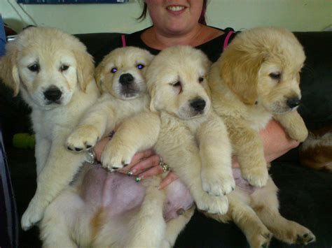 golden retriever puppies for sale geelong for sale breed golden retriever pups 650