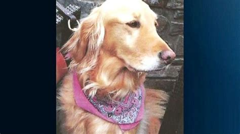 smelly golden retriever lost golden retriever murphy may used smell to find family after two years abc news