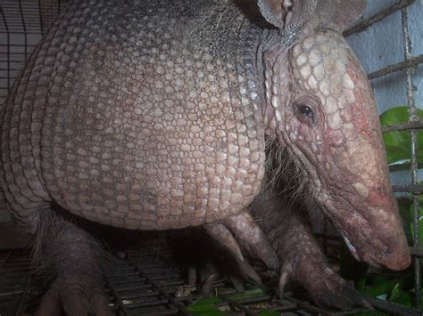 armadillo photograph gallery pictures images