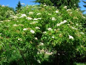 Flowering Shrubs Zone - york elderberry bush burnt ridge nursery amp orchards burnt ridge nursery