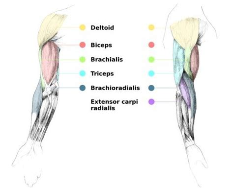 sections of the arm arm muscles nomenclature anatomy pinterest the o