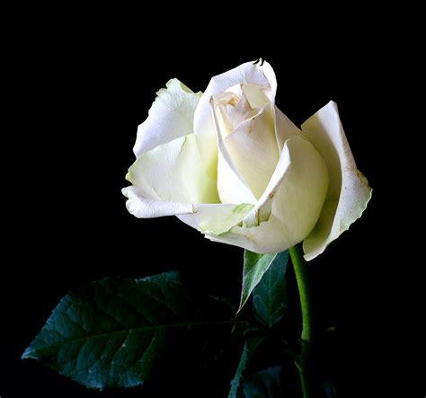 significato dei fiori qual 232 il significato dei fiori bianchi