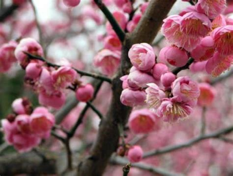 plum blossom tree new year an overview official flowers of 32 cities china