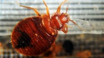 what color is bed bugs bed bugs to certain colors study says cbs news