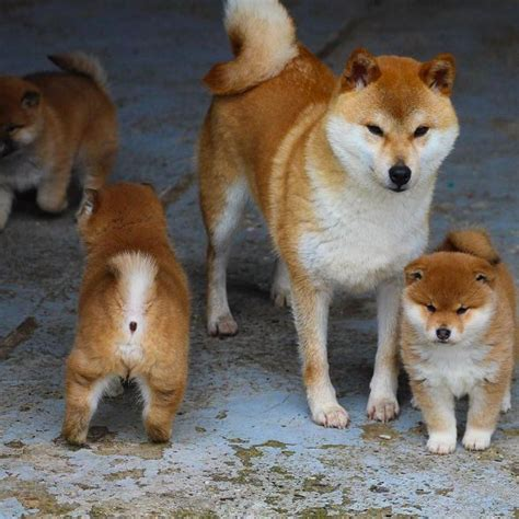 where to buy a shiba inu puppy 153 best shiba inu images on