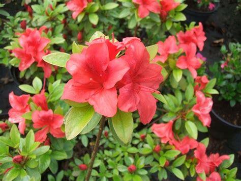 azalea da giardino azalea piante da giardino arredare casa e giardino con