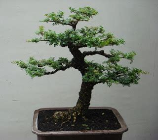 Bakalan Bonsai Kawista jual bonsai kawista kawis bonsai
