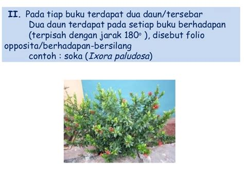 Tyes Buku Memperbanyak Anthurium Daun botani 3 daun majemuk