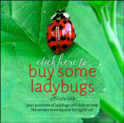 where to find ladybugs in your backyard what do ladybug larvae look like tyrant farms