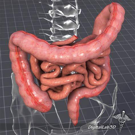 Stool In The Stomach by Human Large Small Intestines 3d Max