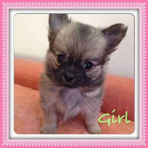 haired pomeranian puppies for sale haired chihuahua x pomeranian pups for sale basildon essex pets4homes