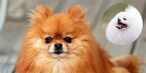pomeranian traits large breeds from germany breeds picture