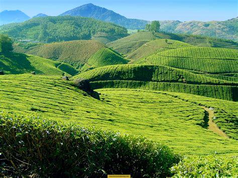 coffee plantation wallpaper most famous tea plantation land munnar adamseo25