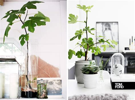 decora con plantas de interior decora con plantas higueras hello marielou