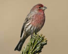 house finch audubon field guide