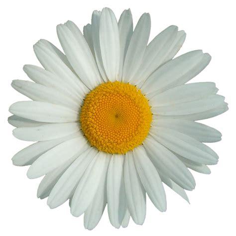 margherita fiori immagine