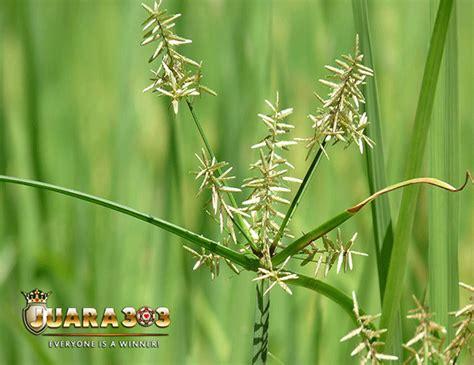 Obat Alami Stamina Ayam Aduan manfaat dan kegunaan rumput teki untuk ayam aduan