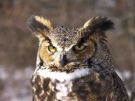 iron oak farm wild wednesday great horned owl