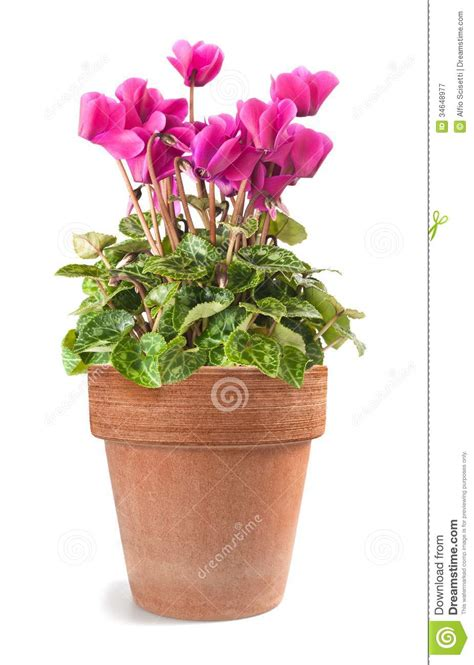 ciclamino in vaso ciclamino in vaso fotografia stock libera da diritti