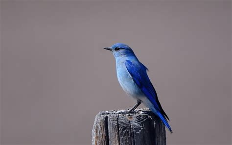 wallpaper blue birdcage bluebird wallpaper wallpapersafari